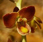 Eulophia tuberculata