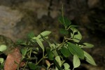 Peperomia blanda var. leptostachya