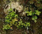 Peperomia tetraphylla
