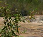 Salix mucronata subsp. subserrata