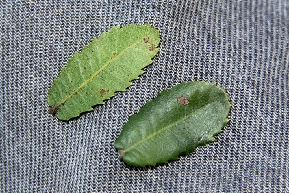 Morella chimanimaniana