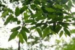 Celtis gomphophylla
