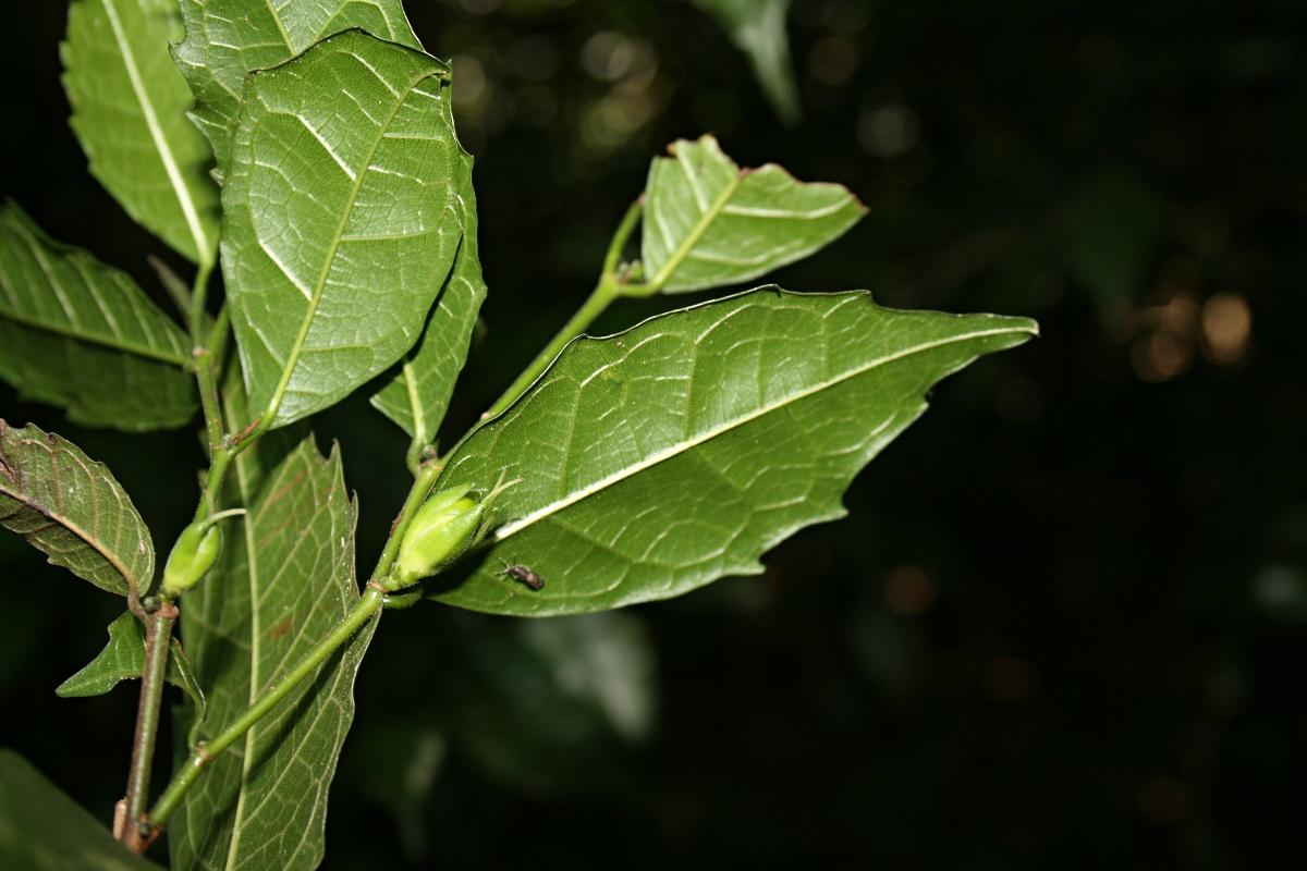 Streblus usambarensis