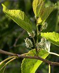 Morus australis