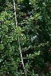Maclura africana