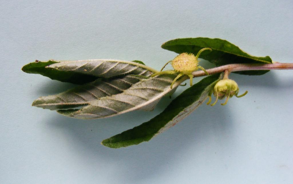 Dorstenia benguellensis