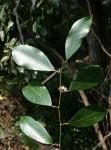 Trilepisium madagascariense