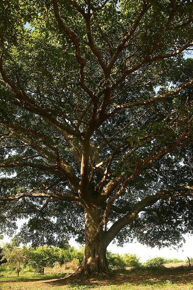 Ficus bussei