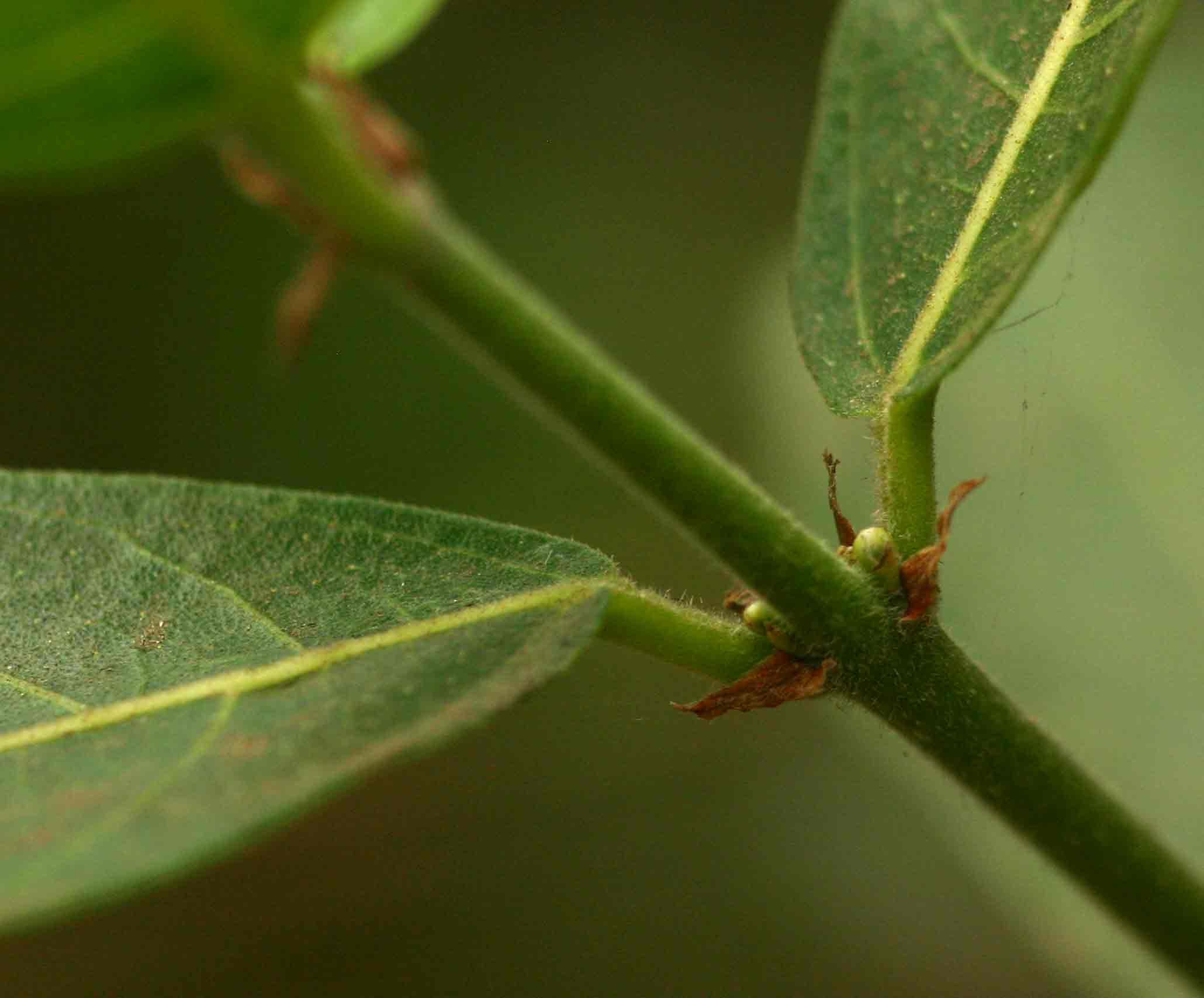 Ficus capreifolia