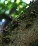 Ficus chirindensis