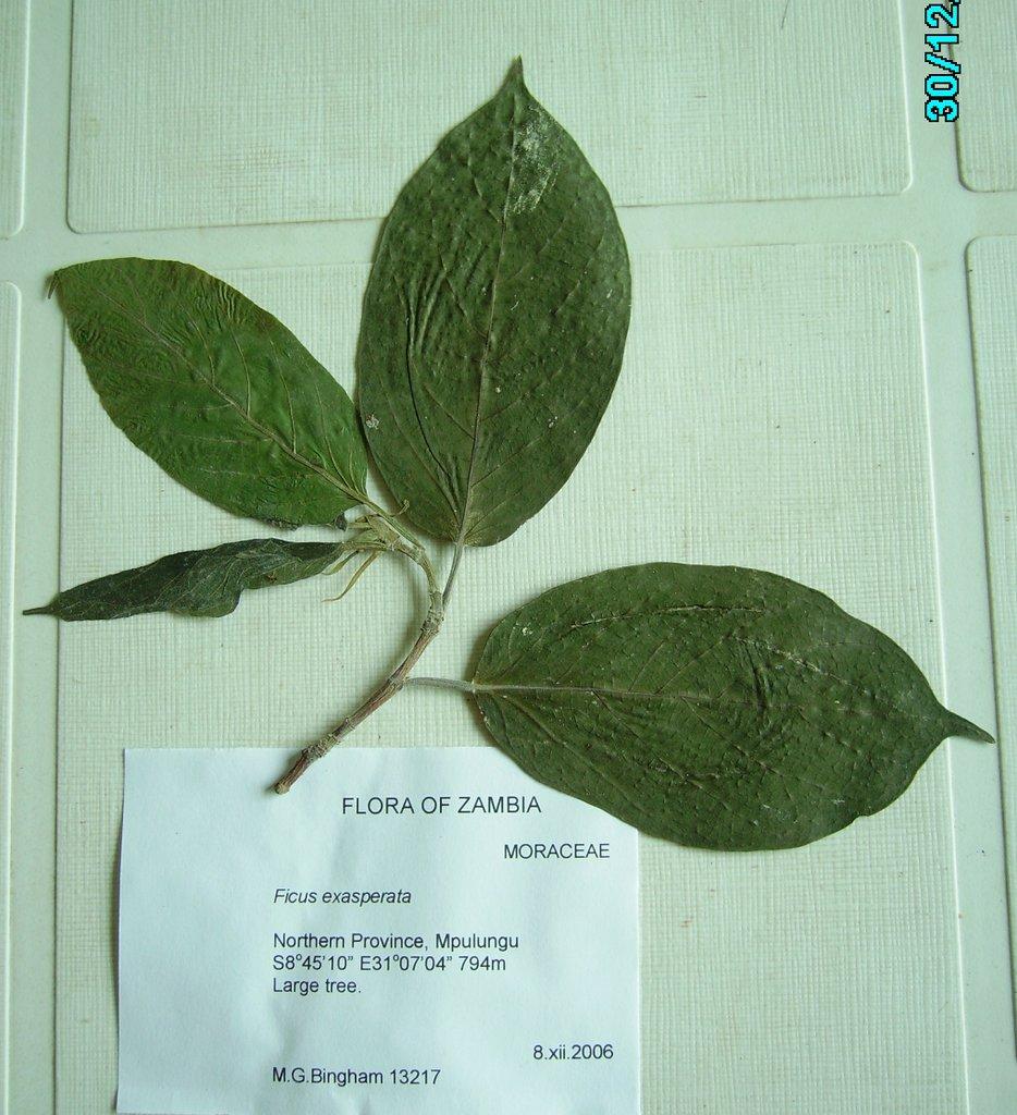 Ficus exasperata