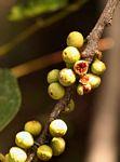 Ficus ingens