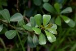 Ficus natalensis subsp. graniticola
