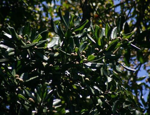 Ficus scassellatii subsp. scassellatii