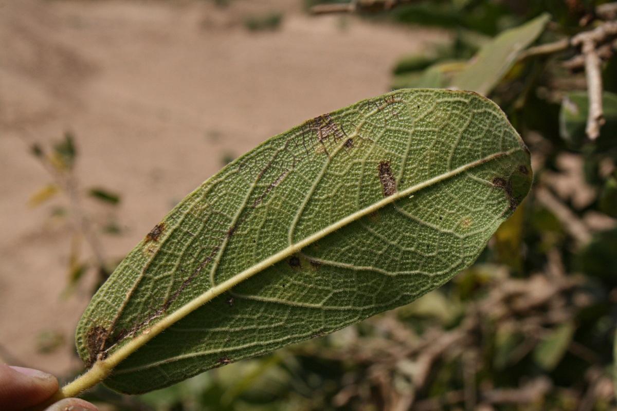 Ficus stuhlmannii