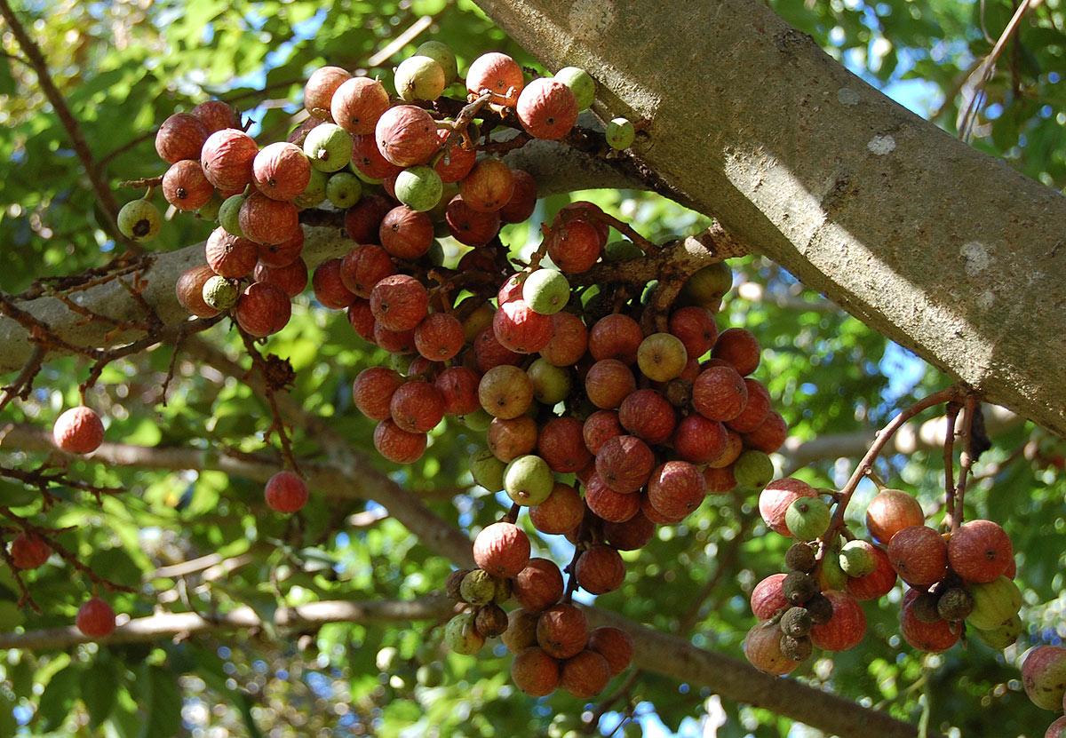 Flora Of Zimbabwe Species Information Individual Images Ficus Sur