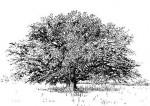 Ficus sycomorus