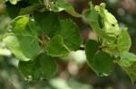 Ficus tettensis