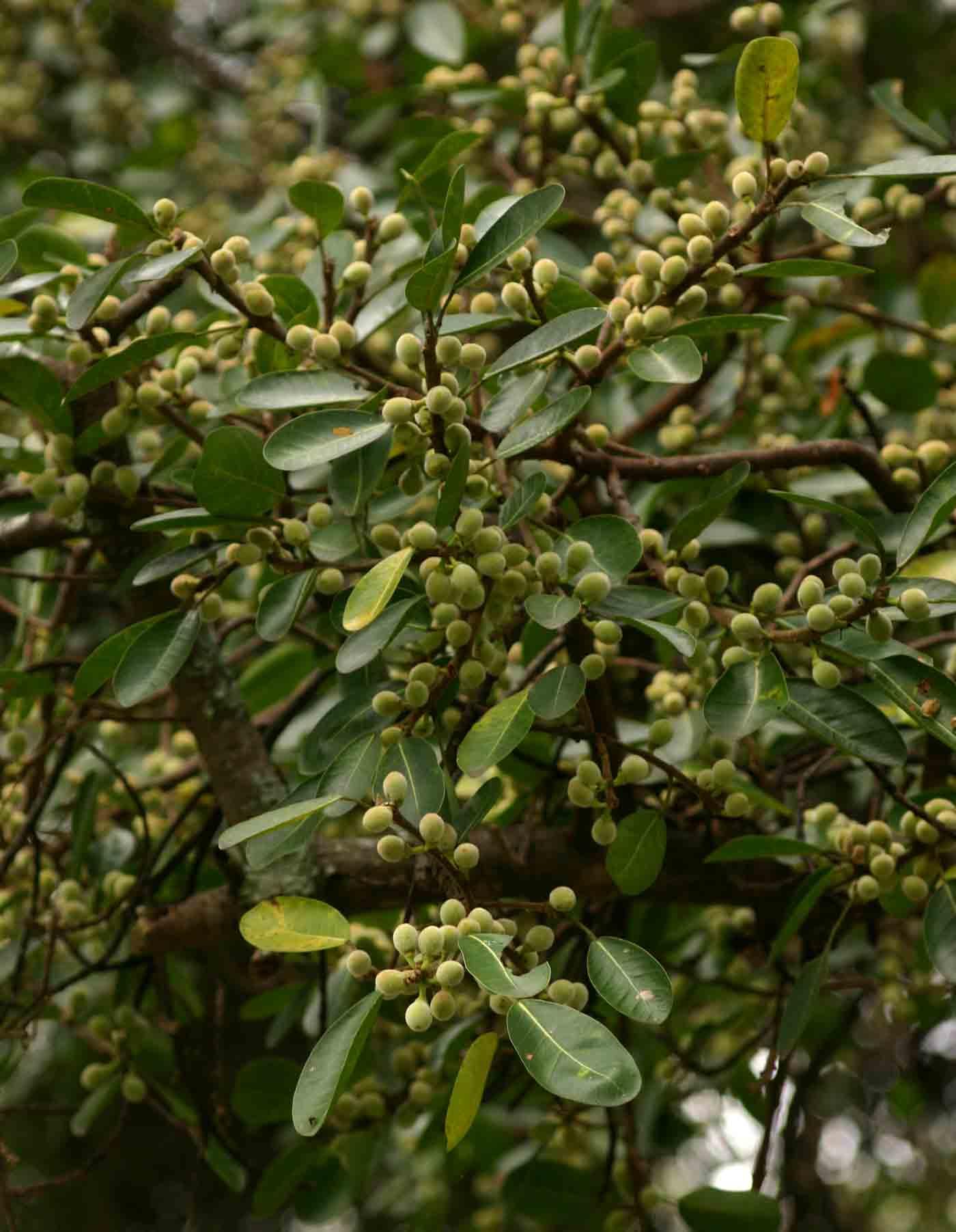 Ficus burkei