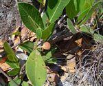 Ficus verruculosa
