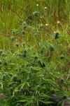 Cannabis sativa