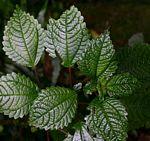 Pilea johnstonii subsp. johnstonii