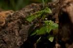 Pilea tetraphylla