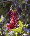 Faurea rubriflora