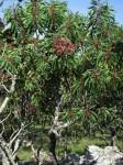 Protea petiolaris subsp. elegans