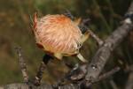 Protea welwitschii