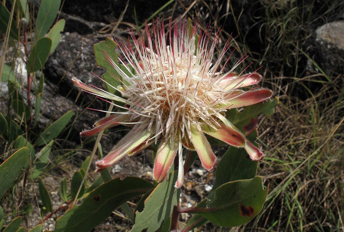 Protea wentzeliana