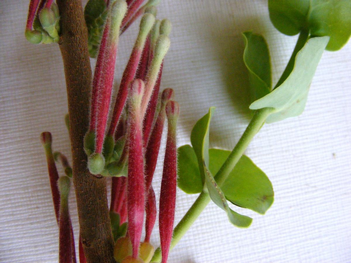 Tapinanthus erianthus