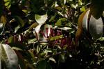 Tapinanthus quequensis