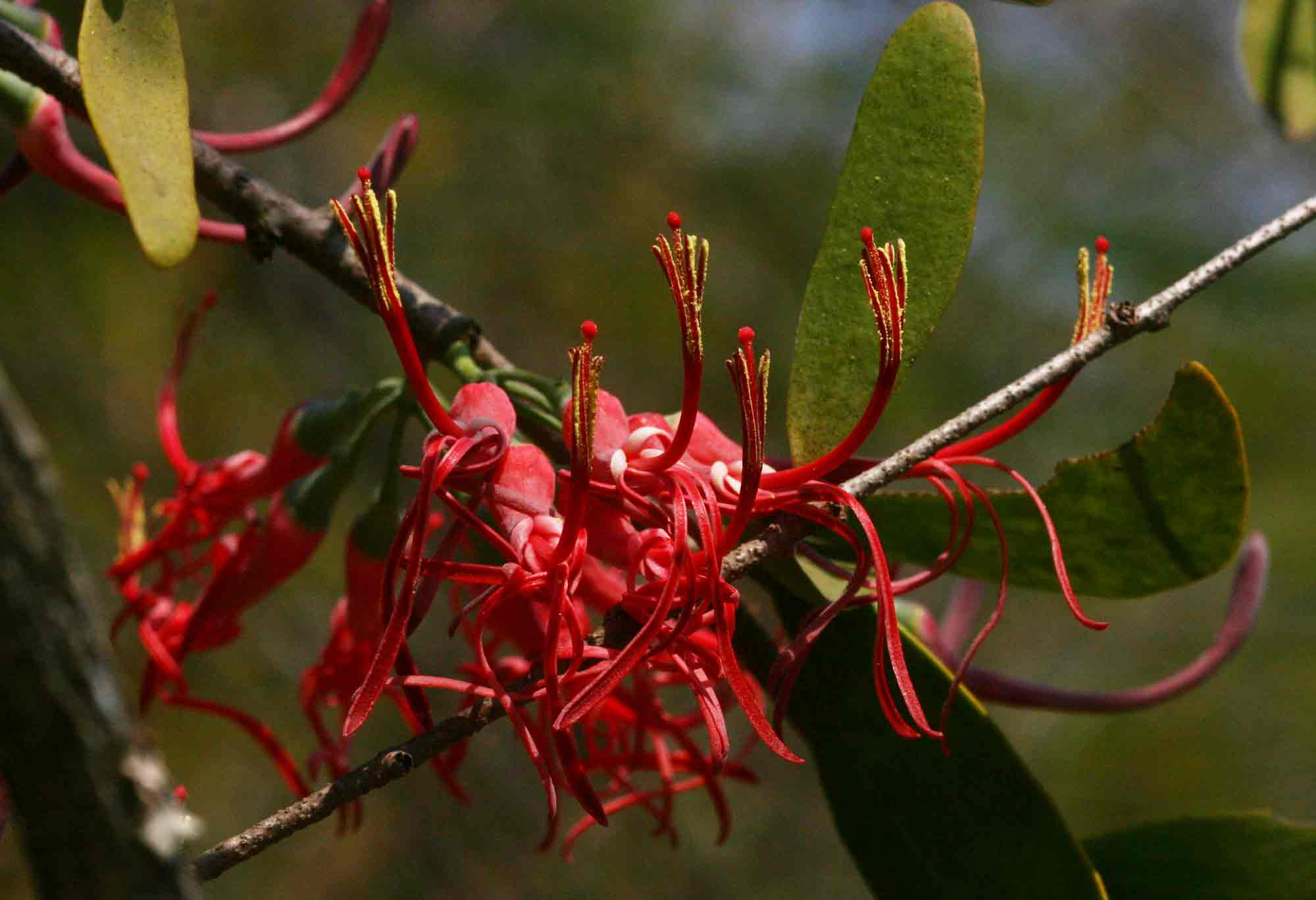 Plicosepalus kalachariensis