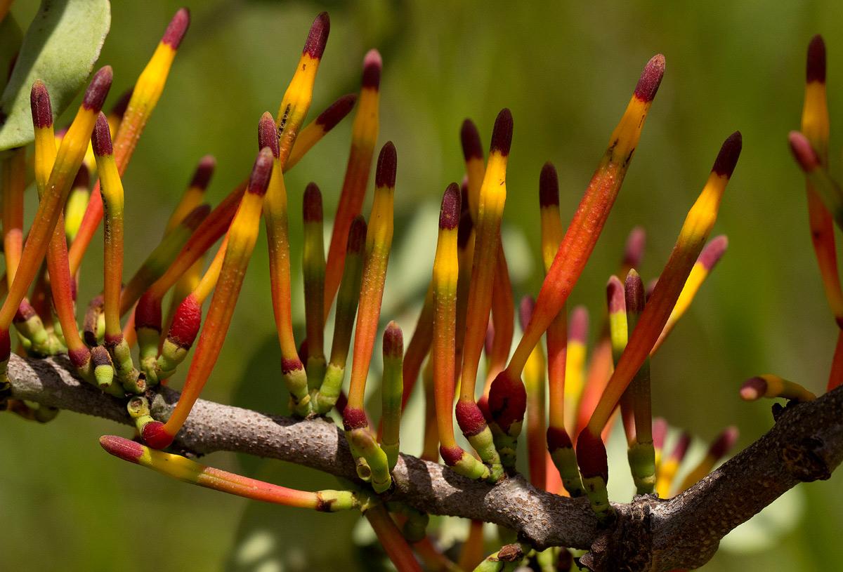 Agelanthus fuellebornii