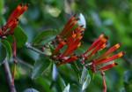 Agelanthus lancifolius