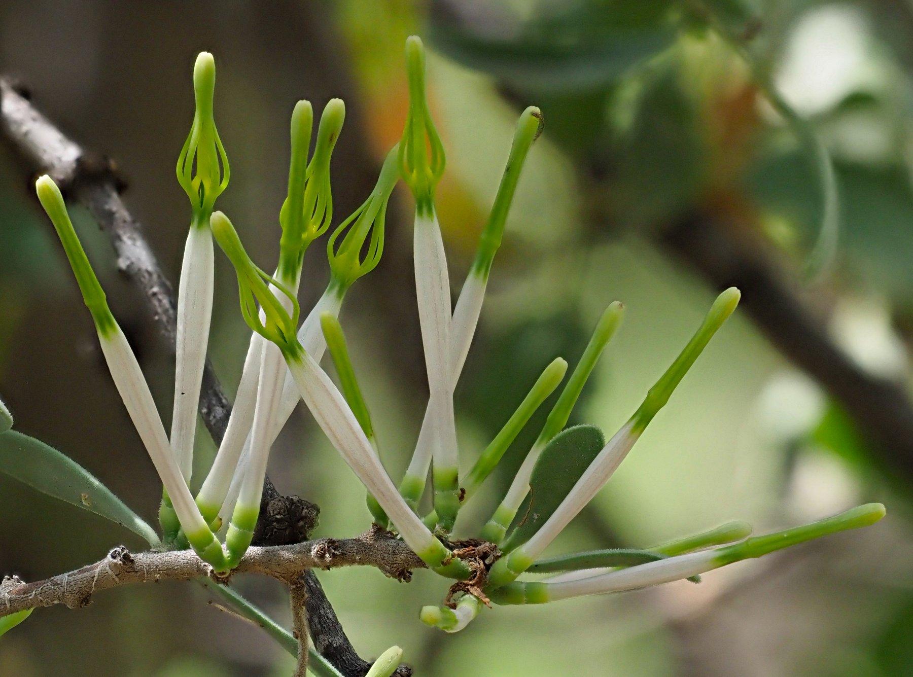 Agelanthus lugardii