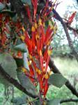 Agelanthus nyasicus