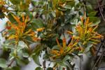 Agelanthus pungu