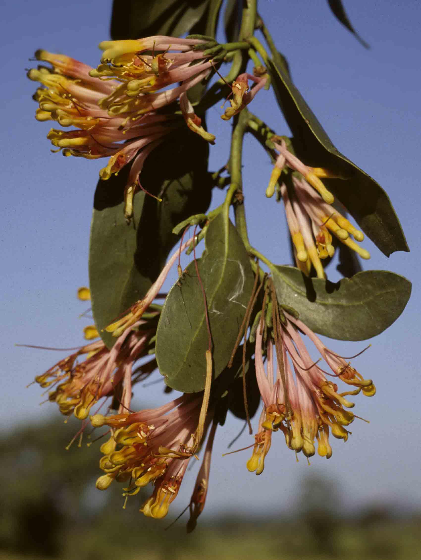 Agelanthus subulatus