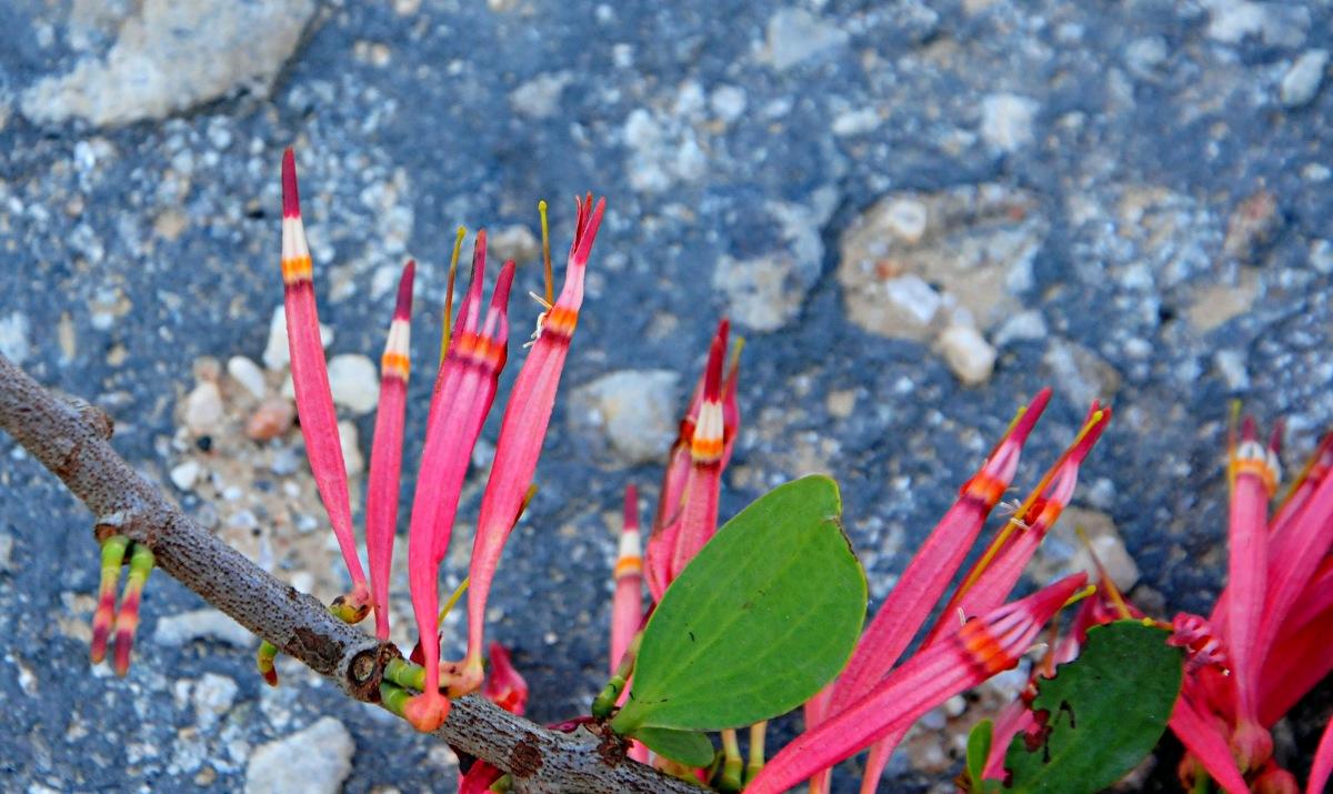 Agelanthus zizyphifolius subsp. vittatus