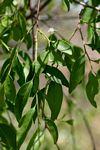 Olax dissitiflora