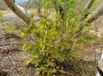 Olax obtusifolia
