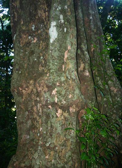 Strombosia scheffleri