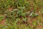 Aristolochia albida