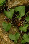 Aristolochia littoralis