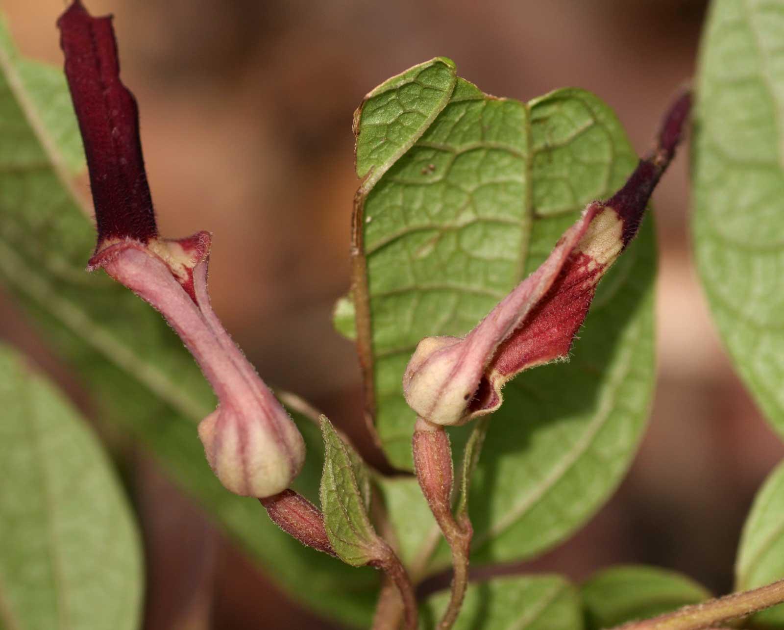 Aristolochia heppii