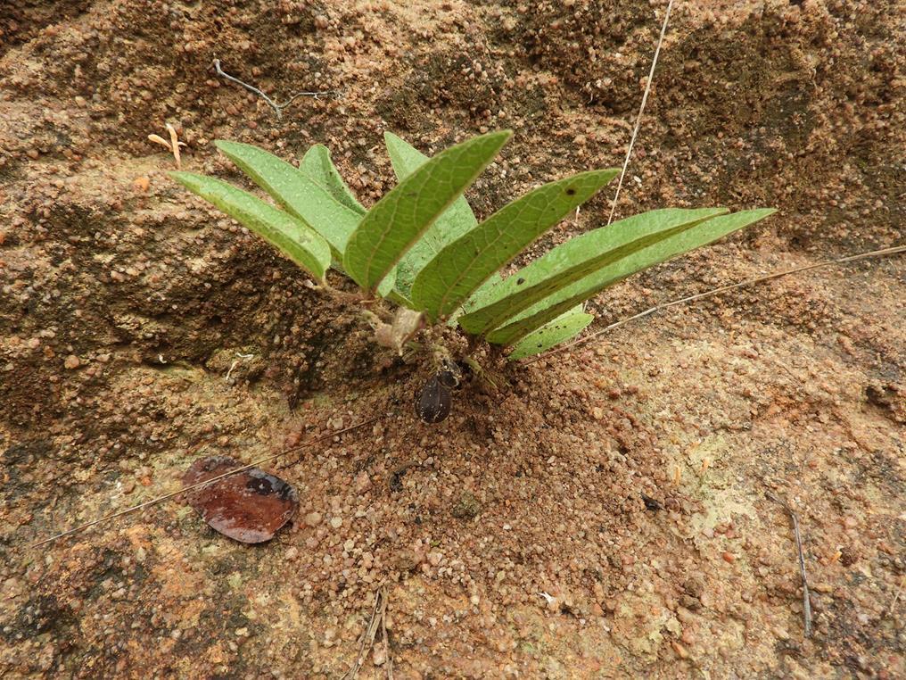 Aristolochia hockii