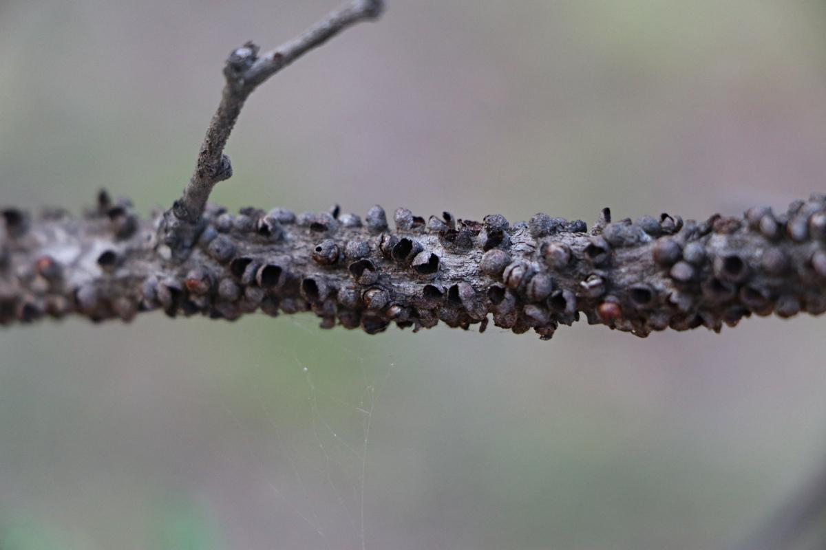 Berlinianche aethiopica
