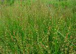 Rumex acetosella subsp. angiocarpus